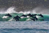 Bottlenose Dolphins surfing the waves in Keurbooms